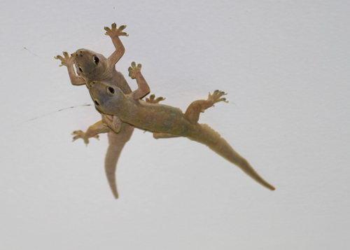 Thạch sùng là một con vật thuộc họ Thằn Lằn còn có tên là Thủ Cung