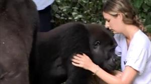 Video: Hai chú khỉ đột vẫn nhận ra ân nhân sau hơn 12 năm xa cách