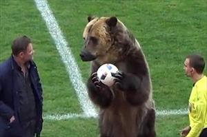 Video: Giật mình xem chú gấu to hơn người xuất hiện giữa sân bóng đá