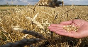 Việt Nam đẩy Thổ Nhĩ Kỳ khỏi vị trí thứ 2 trong bảng xếp hạng các nước mua ngũ cốc Nga