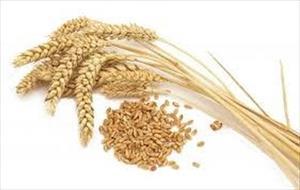 Giá lúa mì Nga sụt giảm