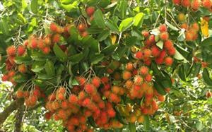 Chôm chôm Việt Nam được chấp thuận vào thị trường New Zealand