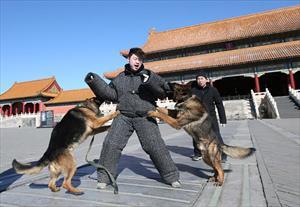 Tết không nghỉ của đội chó tuần tra ở Tử Cấm Thành