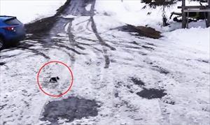Video: Chó collie cứu chó chihuahua ngay trước bánh ô tô đang lùi