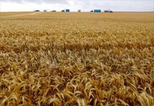 Nga ngừng cấp giấy kiểm dịch thực vật cho các nhà xuất khẩu lúa mì vào Việt Nam
