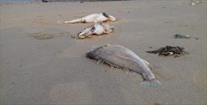 Vụ cá chết: Nhận định rùng mình của 3 nhà khoa học VN ở nước ngoài