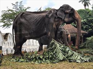 Bàng hoàng ảnh voi 70 tuổi gầy trơ xương sau lớp áo lễ hội